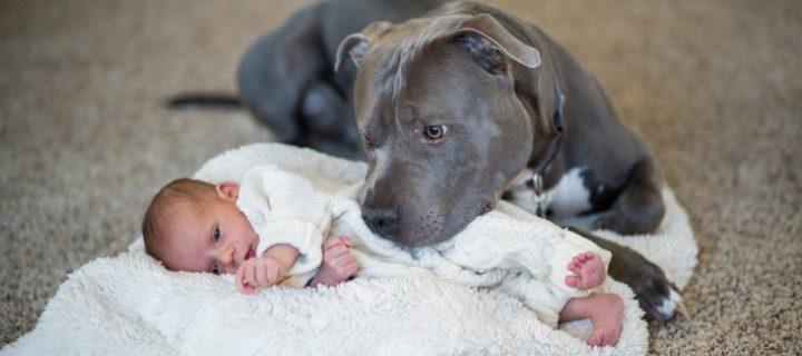 Pour les chiens dangereux, l'assurance est-elle obligatoire ?